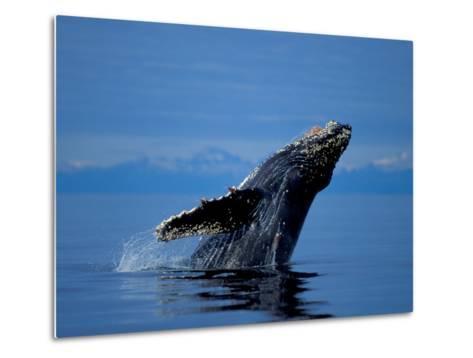 Breaching Humpback Whale, Inside Passage, Southeast Alaska, USA-Stuart Westmoreland-Metal Print
