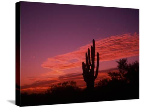 Colorful Cactus in the Sunset, Arizona, USA-Bill Bachmann-Stretched Canvas Print