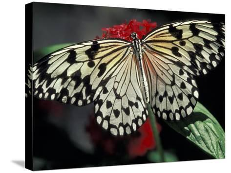 Common Mime Butterfly, Butterfly World, Ft Lauderdale, Florida, USA-Darrell Gulin-Stretched Canvas Print