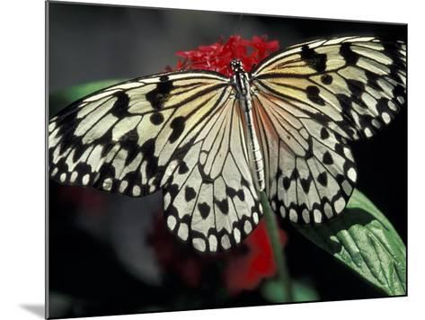 Common Mime Butterfly, Butterfly World, Ft Lauderdale, Florida, USA-Darrell Gulin-Mounted Photographic Print