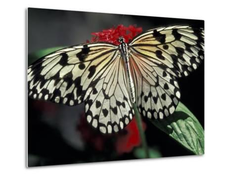 Common Mime Butterfly, Butterfly World, Ft Lauderdale, Florida, USA-Darrell Gulin-Metal Print