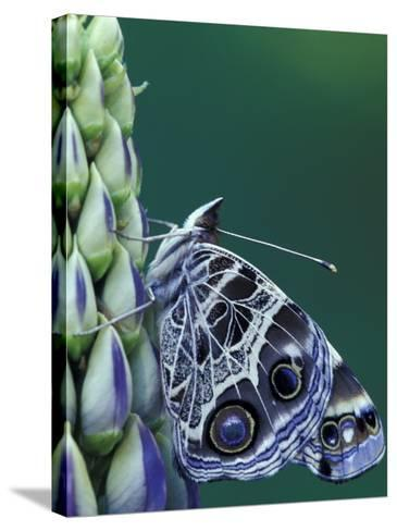 Painted Lady Butterfly on Lupine, Bloomfield Hills, Michigan, USA-Darrell Gulin-Stretched Canvas Print