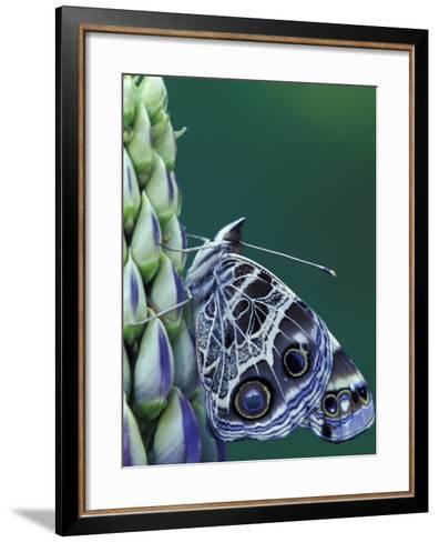 Painted Lady Butterfly on Lupine, Bloomfield Hills, Michigan, USA-Darrell Gulin-Framed Art Print
