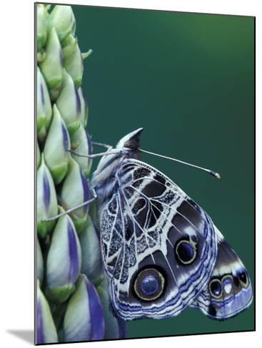 Painted Lady Butterfly on Lupine, Bloomfield Hills, Michigan, USA-Darrell Gulin-Mounted Photographic Print