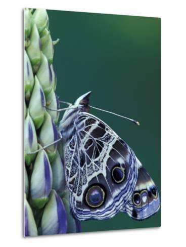 Painted Lady Butterfly on Lupine, Bloomfield Hills, Michigan, USA-Darrell Gulin-Metal Print