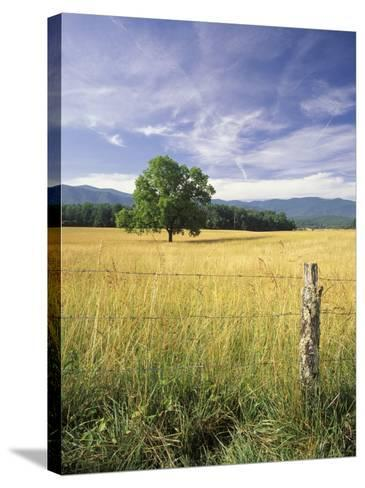 Tree in Grassy Field, Cades Cove, Great Smoky Mountains National Park, Tennessee, USA-Adam Jones-Stretched Canvas Print