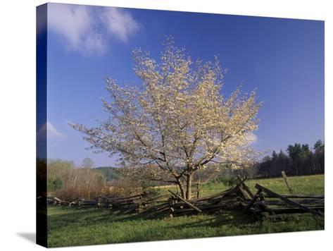 Flowering Dogwood Tree and Rail Fence, Great Smoky Mountains National Park, Tennessee, USA-Adam Jones-Stretched Canvas Print