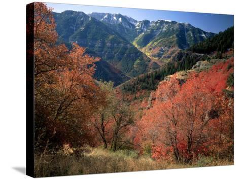 Maples on Slopes above Logan Canyon, Bear River Range, Wasatch-Cache National Forest, Utah, USA-Scott T^ Smith-Stretched Canvas Print