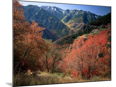 Maples on Slopes above Logan Canyon, Bear River Range, Wasatch-Cache National Forest, Utah, USA-Scott T^ Smith-Mounted Photographic Print