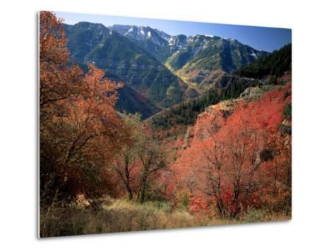 Maples on Slopes above Logan Canyon, Bear River Range, Wasatch-Cache National Forest, Utah, USA-Scott T^ Smith-Metal Print