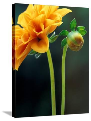 Dahlia Detail, Bellevue Botanical Garden, Washington, USA-Jamie & Judy Wild-Stretched Canvas Print
