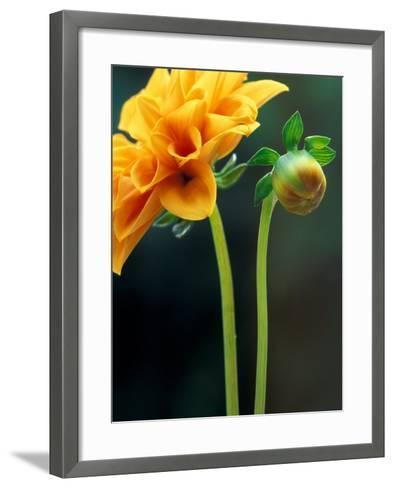 Dahlia Detail, Bellevue Botanical Garden, Washington, USA-Jamie & Judy Wild-Framed Art Print