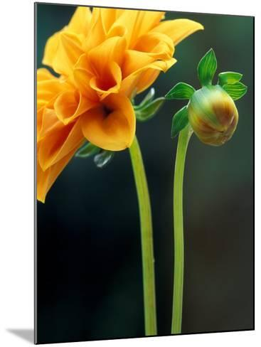 Dahlia Detail, Bellevue Botanical Garden, Washington, USA-Jamie & Judy Wild-Mounted Photographic Print