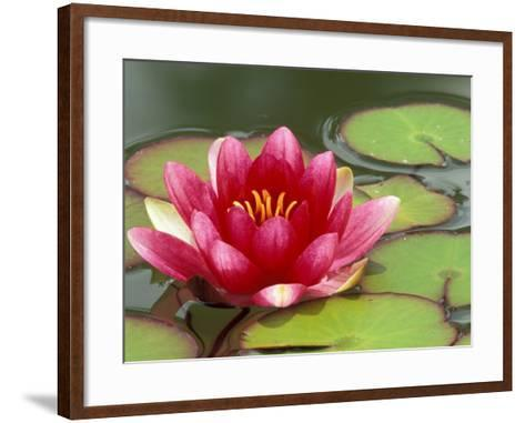 Water Lily Reflected in Pond, Woodland Park Zoo, Washington, USA-Jamie & Judy Wild-Framed Art Print