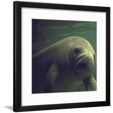 Florida Manatee-Nina Leen-Framed Art Print