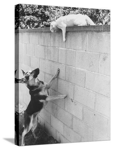 Cat Owned by Olympic Track Star Harold Connolly, on Wall Hissing at Police German Shepherd-Bill Eppridge-Stretched Canvas Print