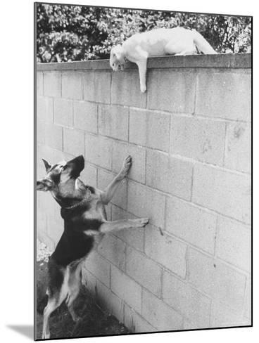 Cat Owned by Olympic Track Star Harold Connolly, on Wall Hissing at Police German Shepherd-Bill Eppridge-Mounted Photographic Print