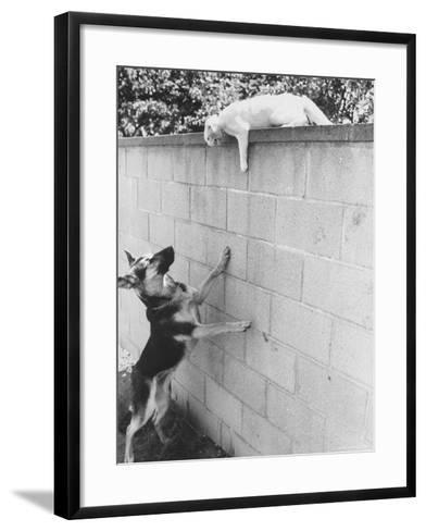 Cat Owned by Olympic Track Star Harold Connolly, on Wall Hissing at Police German Shepherd-Bill Eppridge-Framed Art Print