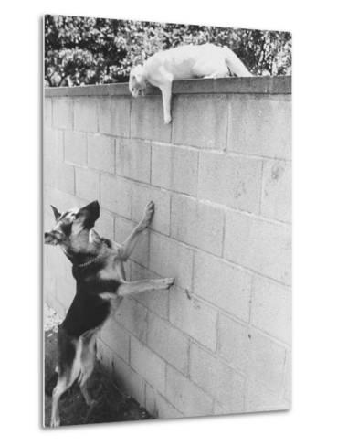 Cat Owned by Olympic Track Star Harold Connolly, on Wall Hissing at Police German Shepherd-Bill Eppridge-Metal Print