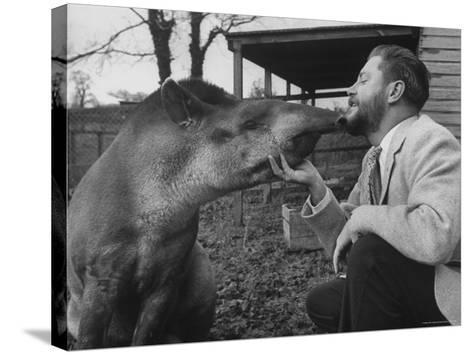 Writer/Naturalist Gerald Durrell Petting South American Tapir in His Private Zoo on Isle of Jersey-Loomis Dean-Stretched Canvas Print