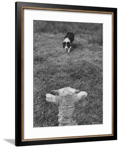 Border Collie, Roy, Winner of North American Sheep Dog Society Championship 3 Times in Succession-Robert W^ Kelley-Framed Art Print