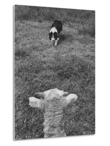 Border Collie, Roy, Winner of North American Sheep Dog Society Championship 3 Times in Succession-Robert W^ Kelley-Metal Print