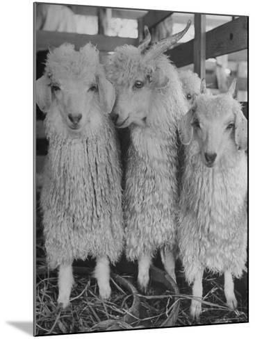 Three Angora Goats, Raised on Ranch for Their Fleece, Known Commercially as Mohair-Alfred Eisenstaedt-Mounted Photographic Print