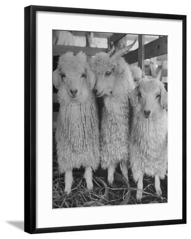 Three Angora Goats, Raised on Ranch for Their Fleece, Known Commercially as Mohair-Alfred Eisenstaedt-Framed Art Print