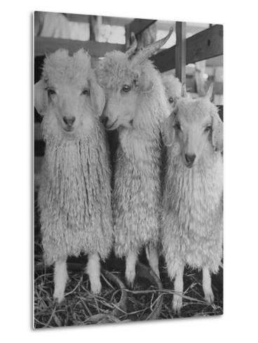 Three Angora Goats, Raised on Ranch for Their Fleece, Known Commercially as Mohair-Alfred Eisenstaedt-Metal Print