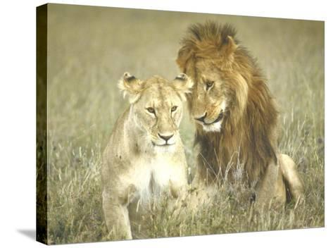 A Pair of Lions in the Wild in Africa-John Dominis-Stretched Canvas Print