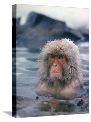 Japanese Macaque, Snow Monkey Sitting in Waters of Hot Spring in Shiga Mountains During a Snowfall-Co Rentmeester-Stretched Canvas Print