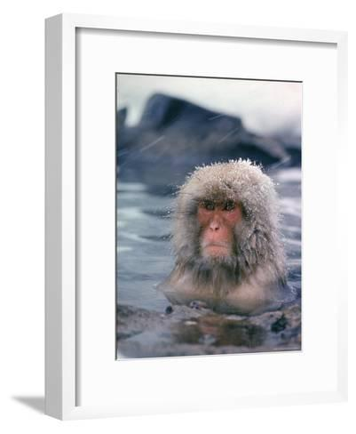 Japanese Macaque, Snow Monkey Sitting in Waters of Hot Spring in Shiga Mountains During a Snowfall-Co Rentmeester-Framed Art Print