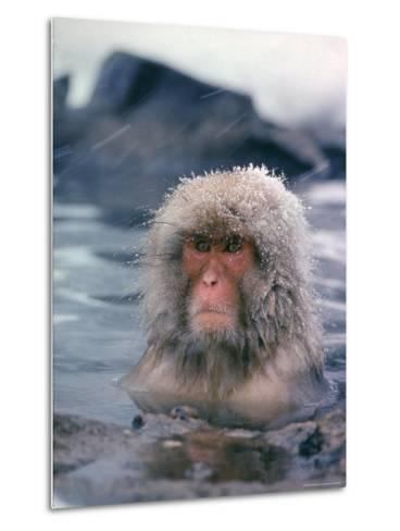 Japanese Macaque, Snow Monkey Sitting in Waters of Hot Spring in Shiga Mountains During a Snowfall-Co Rentmeester-Metal Print