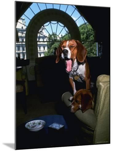 Pet Beagles of President Lyndon B. Johnson, Sitting Together in White House Sitting Room-Francis Miller-Mounted Photographic Print