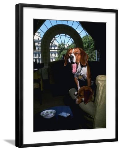 Pet Beagles of President Lyndon B. Johnson, Sitting Together in White House Sitting Room-Francis Miller-Framed Art Print