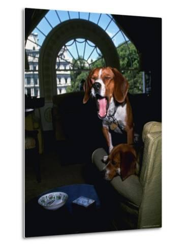 Pet Beagles of President Lyndon B. Johnson, Sitting Together in White House Sitting Room-Francis Miller-Metal Print