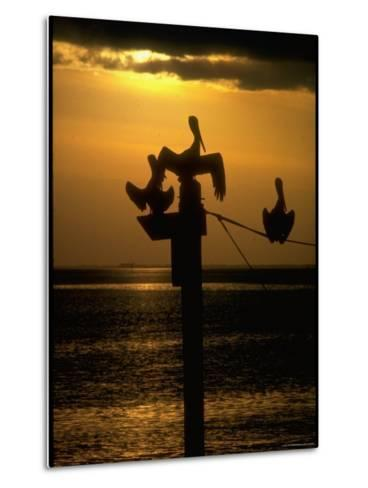 Pelicans in the Sunset at Key Biscayne, Florida-George Silk-Metal Print