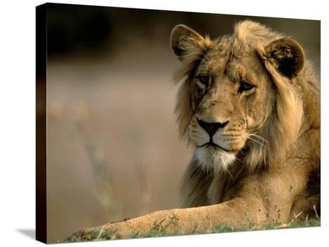 Lioness, Rare Maned Female, Okavango Delta, Botswana-Pete Oxford-Stretched Canvas Print