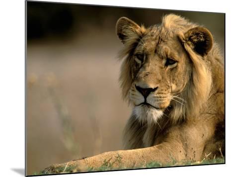 Lioness, Rare Maned Female, Okavango Delta, Botswana-Pete Oxford-Mounted Photographic Print