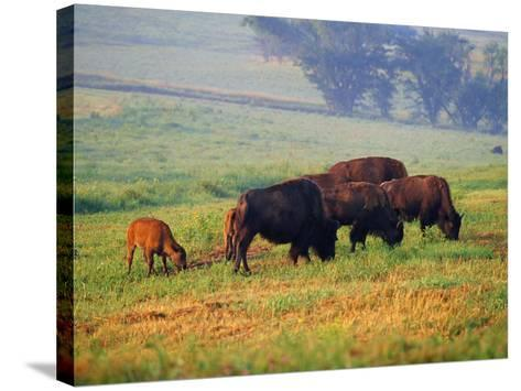 Bison at Neil Smith National Wildlife Refuge, Iowa, USA-Chuck Haney-Stretched Canvas Print