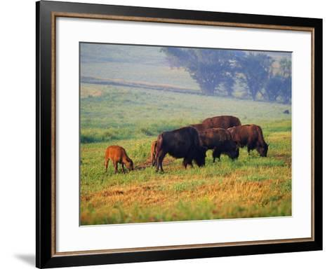 Bison at Neil Smith National Wildlife Refuge, Iowa, USA-Chuck Haney-Framed Art Print