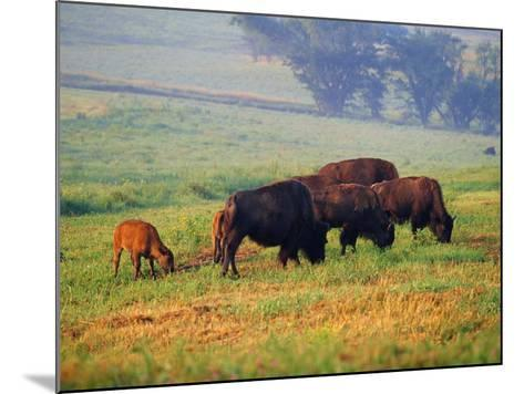 Bison at Neil Smith National Wildlife Refuge, Iowa, USA-Chuck Haney-Mounted Photographic Print