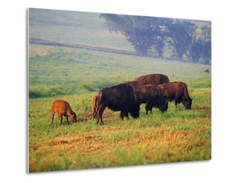 Bison at Neil Smith National Wildlife Refuge, Iowa, USA-Chuck Haney-Metal Print