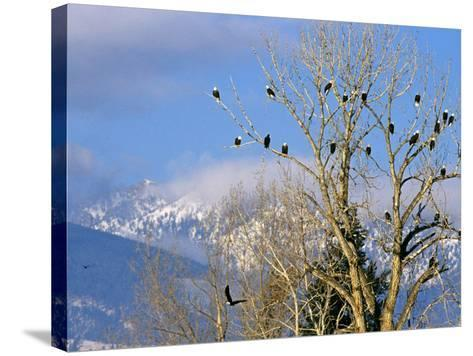 Bald Eagles in the Bitterroot Valley near Hamilton, Montana, USA-Chuck Haney-Stretched Canvas Print