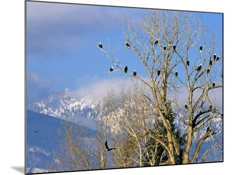 Bald Eagles in the Bitterroot Valley near Hamilton, Montana, USA-Chuck Haney-Mounted Photographic Print