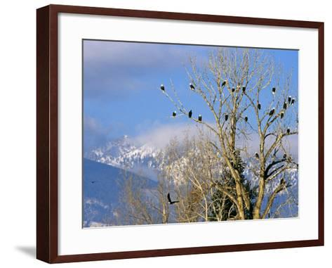 Bald Eagles in the Bitterroot Valley near Hamilton, Montana, USA-Chuck Haney-Framed Art Print