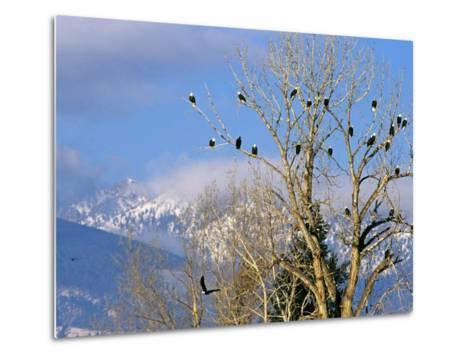 Bald Eagles in the Bitterroot Valley near Hamilton, Montana, USA-Chuck Haney-Metal Print