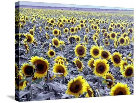 Sunflower Field, Jamestown, North Dakota, USA-Bill Bachmann-Stretched Canvas Print
