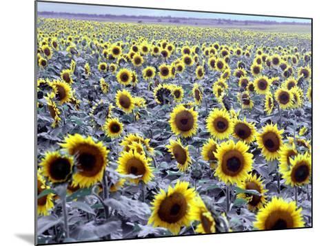 Sunflower Field, Jamestown, North Dakota, USA-Bill Bachmann-Mounted Photographic Print