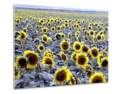 Sunflower Field, Jamestown, North Dakota, USA-Bill Bachmann-Metal Print